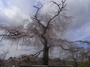 Maruyama_cherry