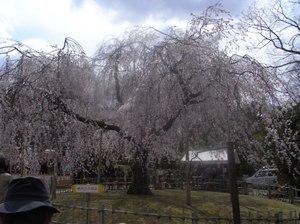 Maruyama_cherry2