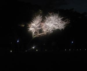 Night_cherry1