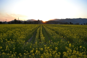 Nanohana_sunset_2